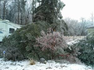 2013 ice storm crushed japanese maple tree