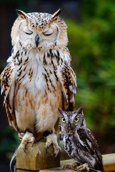 large and little owl