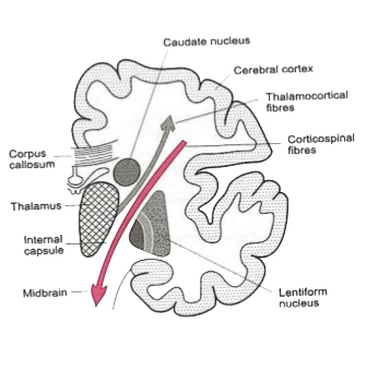 brain mantle