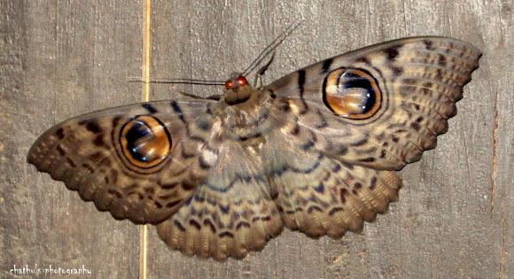 goddess athena great owl moth