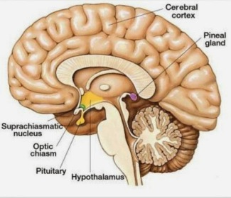 pituitary and pineal gland locations